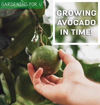 How long does it take for avocado tree to bear fruit
