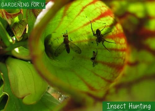 Insect Hunting Pitcher plant