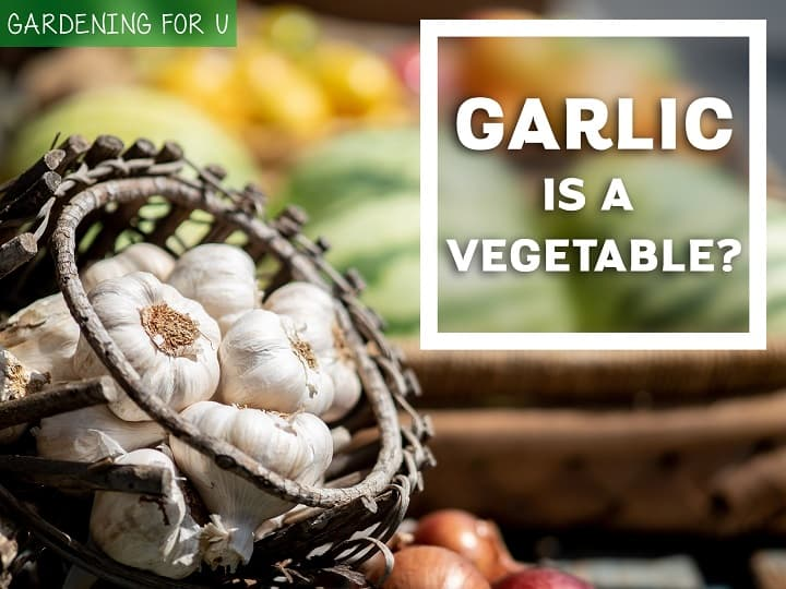 Is Garlic a vegetable?