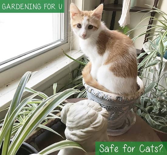 Are Spider Plants safe for Cats