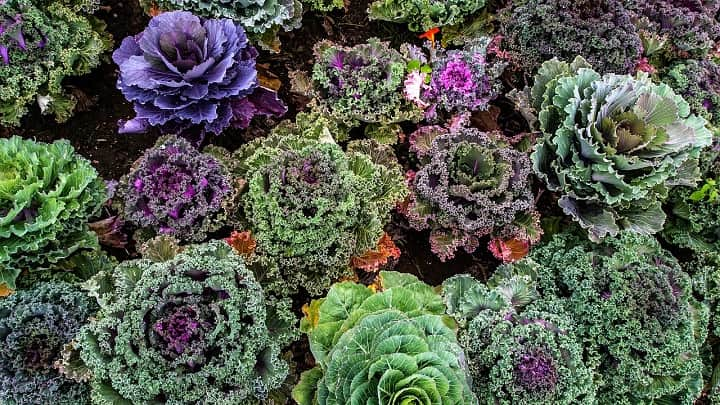 How to Grow Kale in The Accurate Way