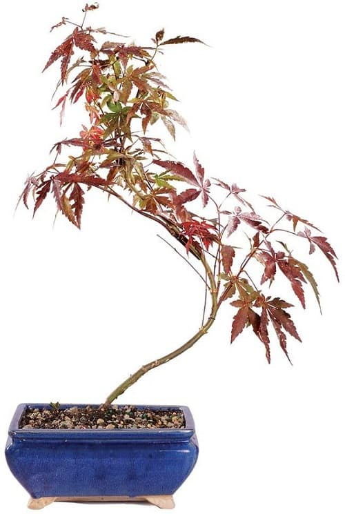 Japanese Red Maple Outdoor Bonsai Tree