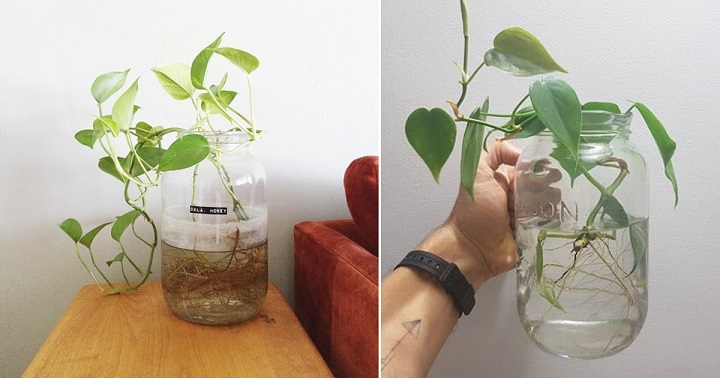 Philodendron Plants that grow on water