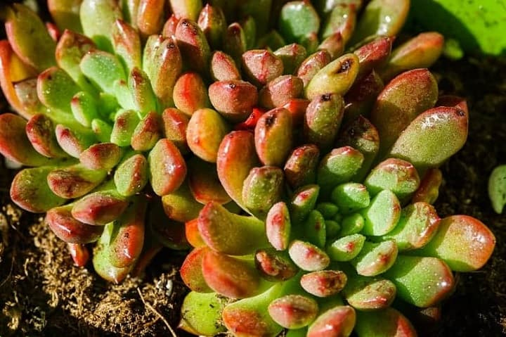 succulent turning red