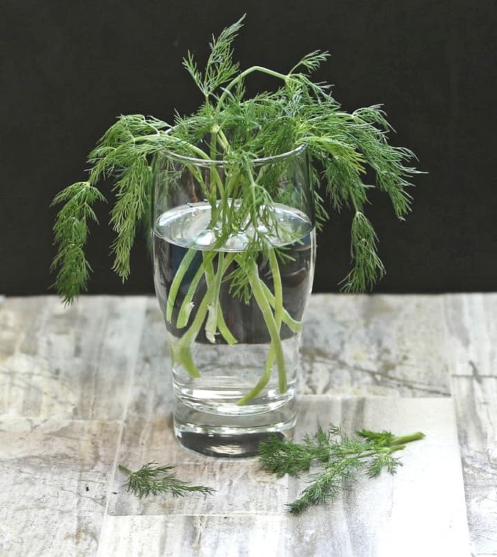 Dill in water