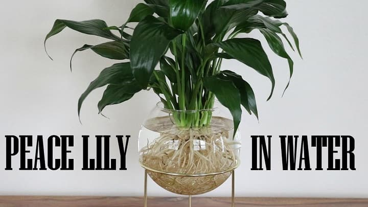 Peace Lily in water