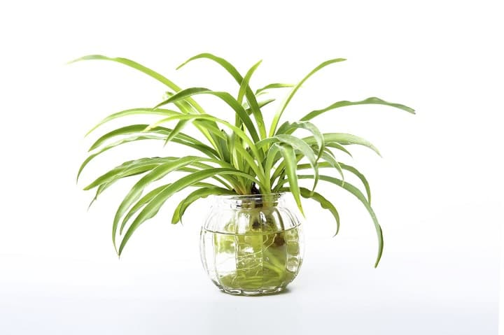 Spider Plant to grow on water