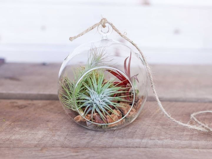 succulent for air purifying