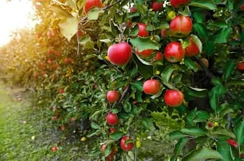 Top 9 Best Fruit Trees for Auckland to Grow